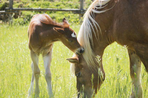 cavalli toscana quarter horse