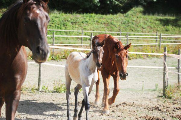 allevamento cavalli toscana