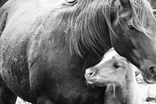 cavalli fattrice puledro toscana