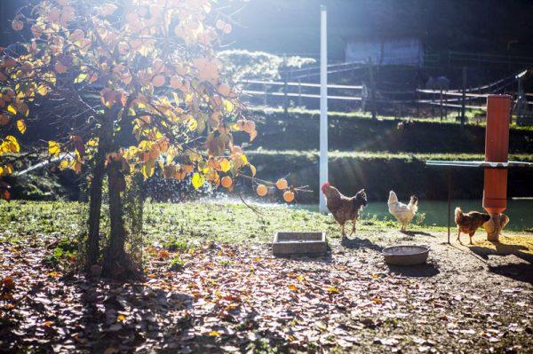 Fattoria didattica agriturismo galline