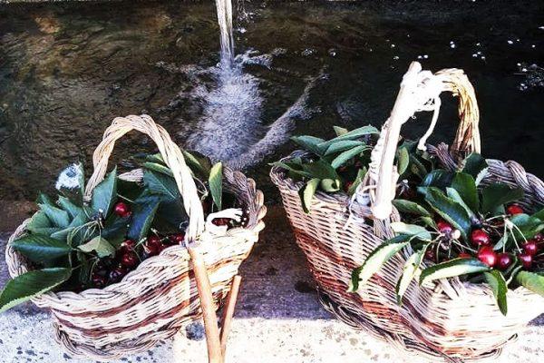 Agriturismo Toscano azienda agricola ciliegie